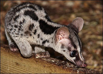 Civet the coffee maker. So we are Sell Luwak Coffee and Other Types of Coffee. 100% Original. Ship Worldwide. Rsvp: Mr. Ari Gusti. M +62881 942 85 92 (SmartFren). BlackBerry PIN 31C05915. Your inquiry will brighten our days, along with a cup of coffee!