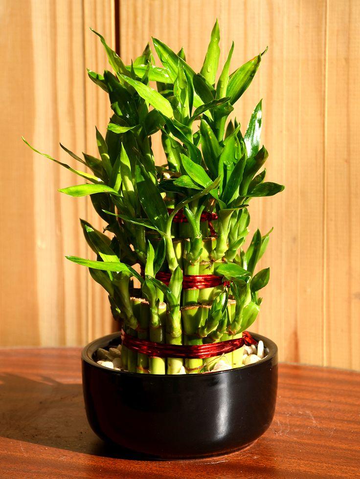 Buy Lucky Bamboo (Dracena Sanderiana)