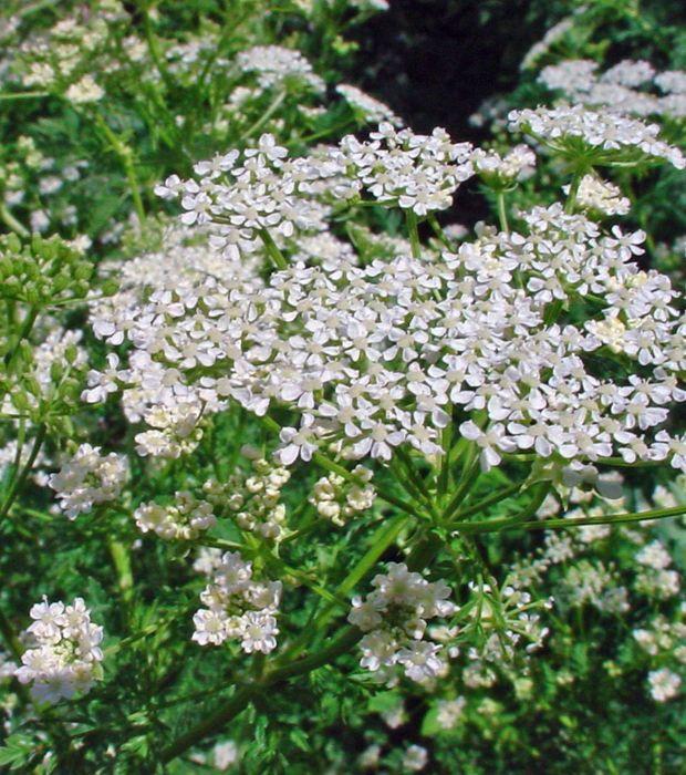 La cigu tachet e ou conium maculatum est une plante - Faire pousser du curcuma ...