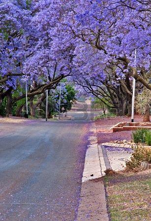 Jacaranda trees, Pretoria, South Africa | Daleen Loest, 123RF