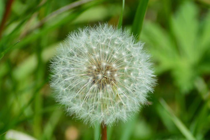 Flowering dandelion.