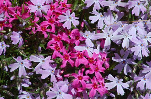 Flowering Ground Covers: Ground Phlox Photo
