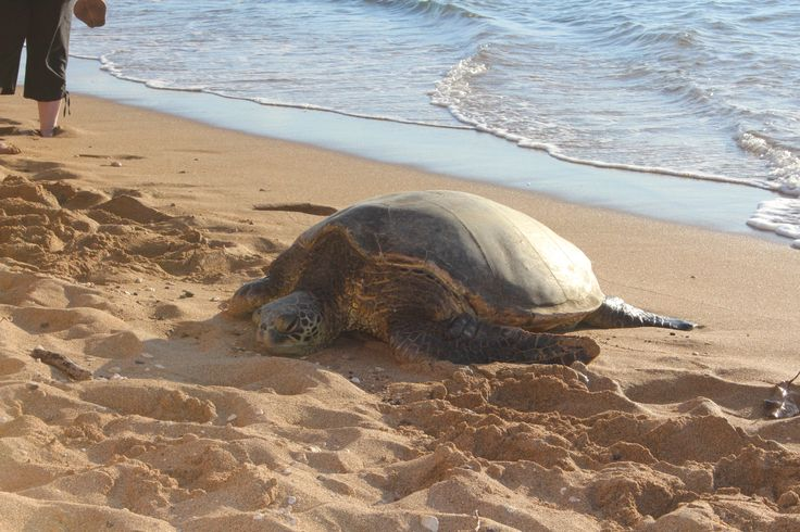 Turtle relaxing on beach across the road from our condo!