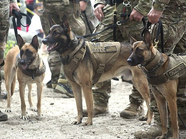 Pin By Husky Mom On Dogs And Cats Mostly Dogs Military Dogs