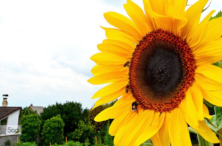 Sunflower, bee and bumble-bee by Adéla Kosová on 500px