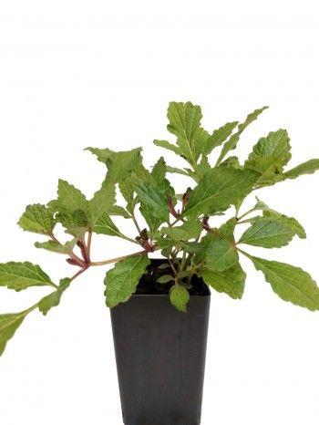 Salvia Miltiorrhiza ○ Red Rooted Sage