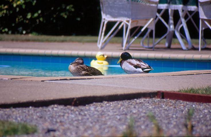 3 Ducks Relaxing in a Pool in Tiburon, California, USA