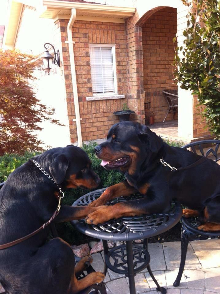 Rottweiler Love <3. Would've been sooo perfect if the leashes weren't in the way