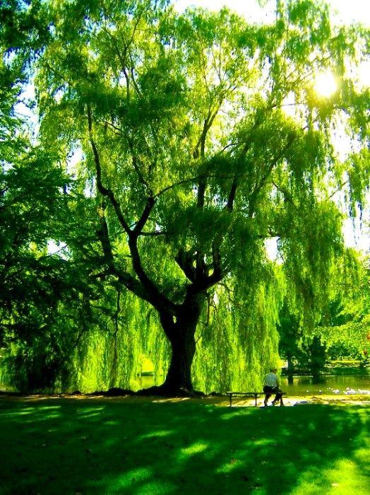 Under the weeping willow tree.