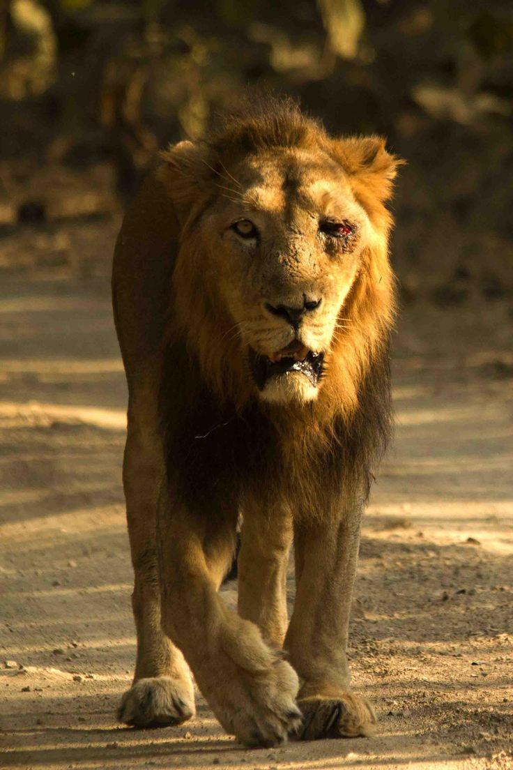 Raju gir national park gujarat national parkslionhtmlbig cats