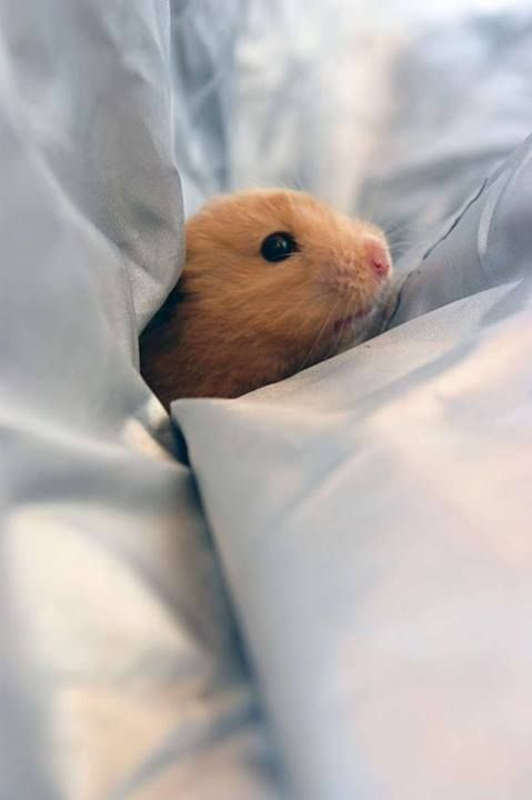 Hello cutie <3    From: https://www.facebook.com/pages/Dwarf-Hamsters/414205831958414