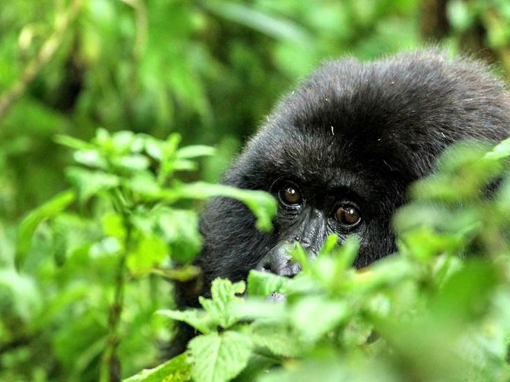 Ruanda - cria de gorila da montanha