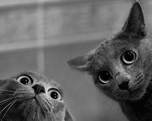 .Russian Blue, Grey Cat, Cat Eye, Crazycat, Funny Cat, Crazy Cat, Big Eye, Crazy Eye, Animal