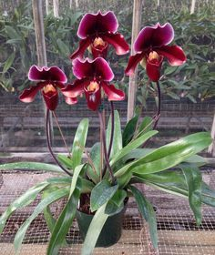Paphiopedilum called Slipper Orchid because of their pouch. Care similar to that of an African Violet. http://www.houseplant411.com/houseplant/african-violet-how-to-grow-care-tips