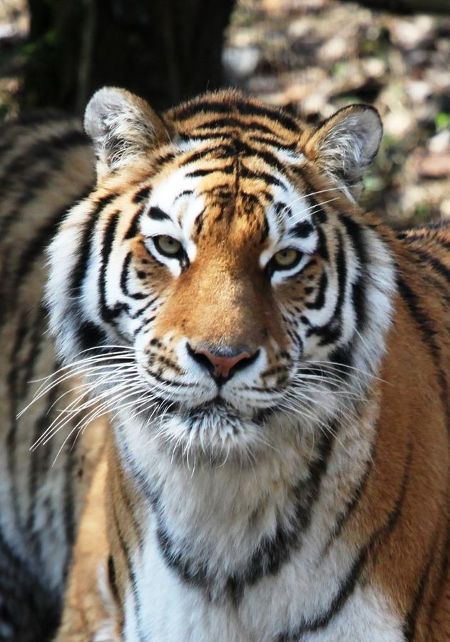 HELP SAVE BENGAL TIGER CORRIDORS FROM COAL MINING!   The Indian Prime Minister is ignoring the rules to protect tigers & has politially endorsed the programme of coal growth  which will result in the removal of over 1.1 million hectares, (4247 square miles), of natural tiger habitat. This expansion in   the Central Indian region is home to over a quarter of the tiger population. PLZ SIGN & SHARE!