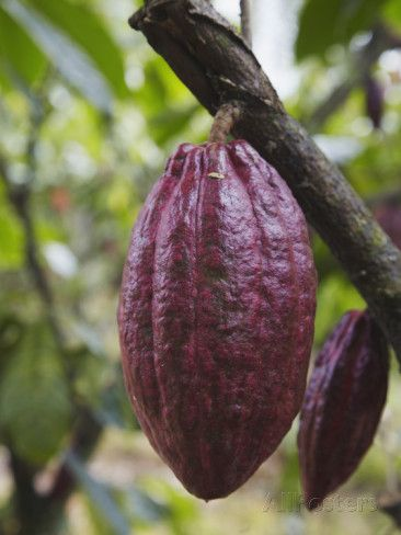 Cocoa (Cacao) Fruit on Tree, Kalitakir Plantation, Kalibaru, Java, Indonesia Photographic Print by Ian Trower at AllPosters.com