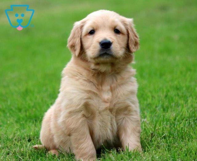 Ella Retriever Puppy Dogs Golden Retriever Dogs