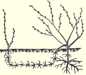 Выращивание саженцев винограда отводками