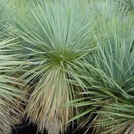 17 best ideas about yucca plant on pinterest gabion wall for Plante yucca