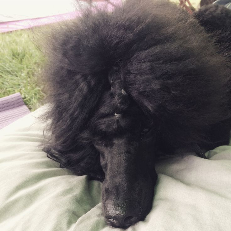 Dog show hairstyle (Cut: Baby / Categorie: Junior / 17mo) #poodle #hairstyle #standardpoodle