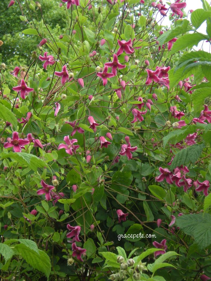clematis | Clematis texensis 'Etoile Rose'                                                                                                                                                                                 More