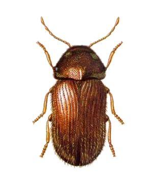 Drugstore Beetle, Stegobium paniceum