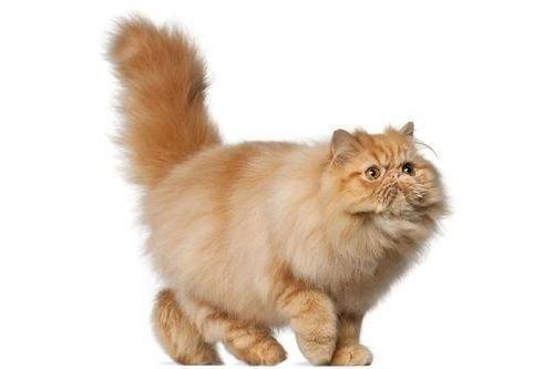 27 Gambar Kucing Jantan Lucu 18 Gambar Kucing Persia Paling Lucu Dan Menggemaskan Gerava Nama Nama Kucing Jantan B Di 2020 Kucing Persia Adopsi Kucing Kucing Belang