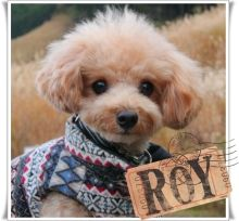 a toy poodle - I think?