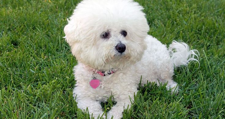 10 top hypoallergenic dog breeds.