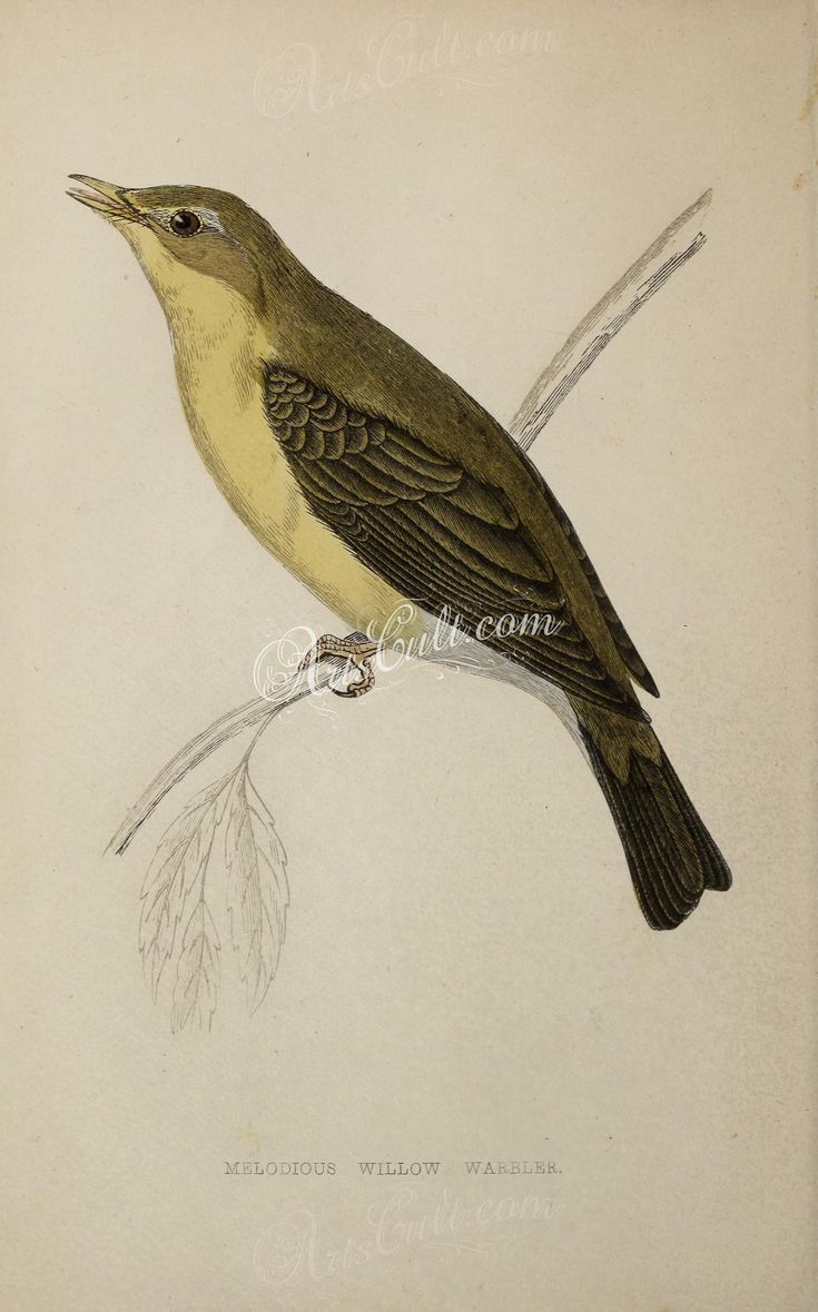 Melodious Willow Warbler      ...