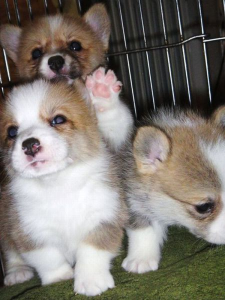 Corgi Puppies I love how the one in the back is like rawwwwwr and the other two are calm