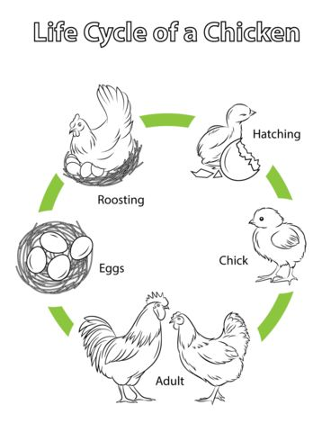 Life Cycle of a Chicken Coloring page #bible Life Cycle of