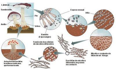 reproducción de hongos