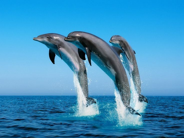 Best 25+ Dolphin facts for kids ideas on Pinterest