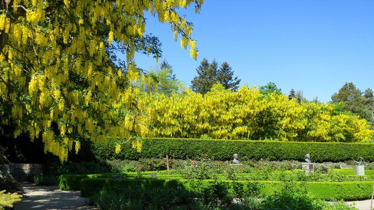 https://flic.kr/p/GuaEtC | VanDusen Botanical Garden - Laburnum Walk | en.wikipedia.org/wiki/Laburnum