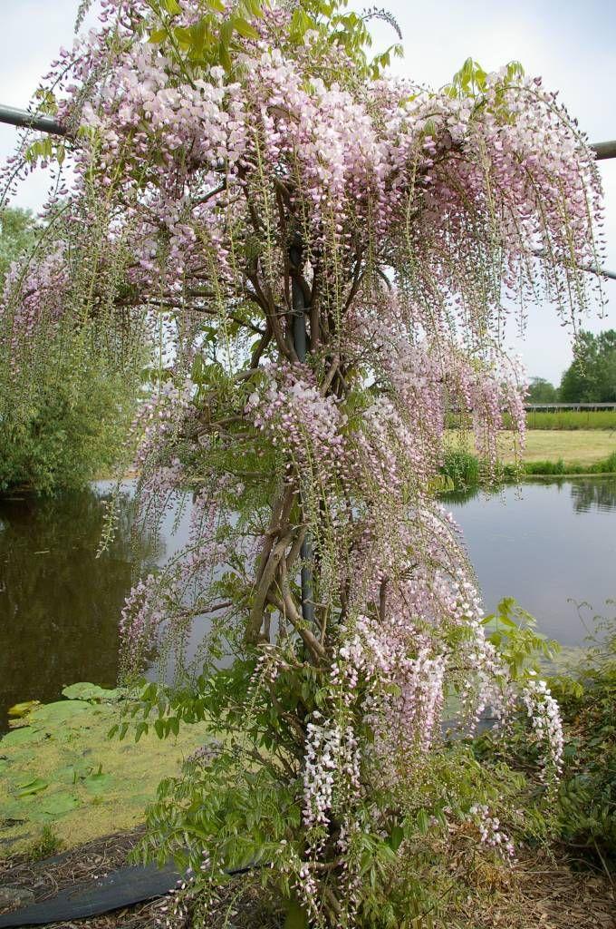 Wisteria Rosea: Deze roze 'blauwe regen' geeft een bijzonder romantische sfeer in de tuin.