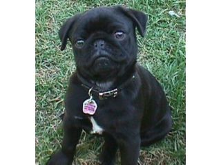 4-year-old black pug for sale to a good home - area of Paisley Renfrewshire:  50, sale here , picture is from, pet He is