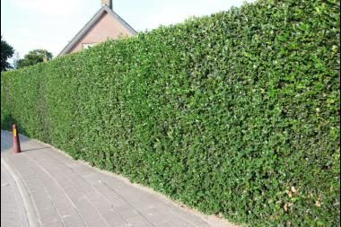 Houx commun    Le houx (Ilex aquifolium) est un buisson toujours vert avec un feuillage de couleur vert foncé brillant. Les feuilles plus âgées développent des épines, ce qui est parfait pour décourager les intrus.