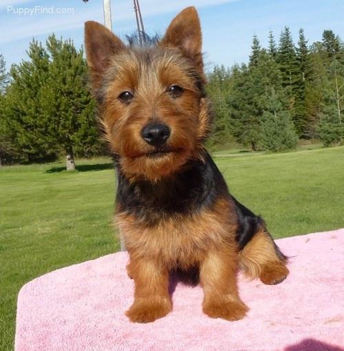 Australian Terrier-looks just like my Petrie dog
