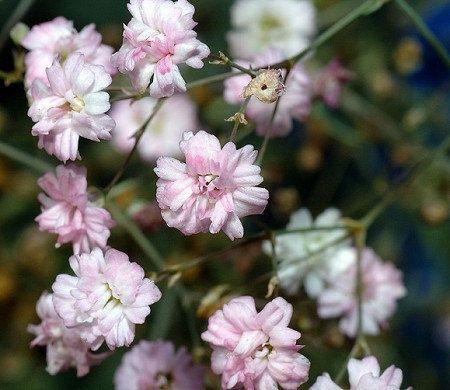 Heirloom 1200 Seeds Gypsophila Rosea Pink Babys by seedsshop
