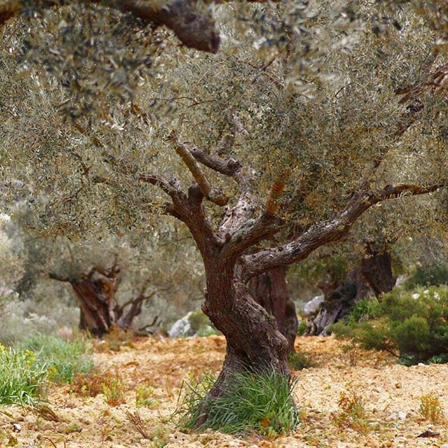 This Olive Tree has been sponsored from Japan in Premium Type.  #thanks for your #sponsor #mallorca #mediterranean #healthy #travel #japan #tree #green #oil #gold #love #mothernature