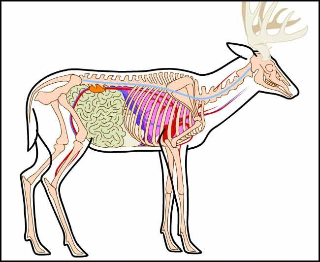 Contemporary Anatomy Of A Moose Gift Internal Organs Diagram