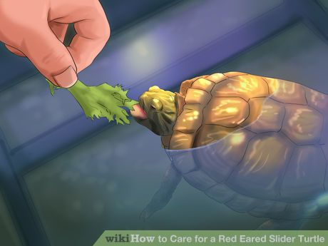 Image titled Care for a Red Eared Slider Turtle Step 16