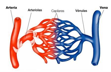 VASOS SANQUÍNEOS ¿QUE FUNCIÓN REALIZAN? CIGB por una ciencia sostenible Un vaso sanguíneo es una estructura hueca y tubular que conduce la sangre impulsada por la acción del corazón, cuya función principal es transportar nutrientes, oxígeno y desechos del cuerpo. Se clasifican en arterias, arteriolas, venas, vénulas y capilares.