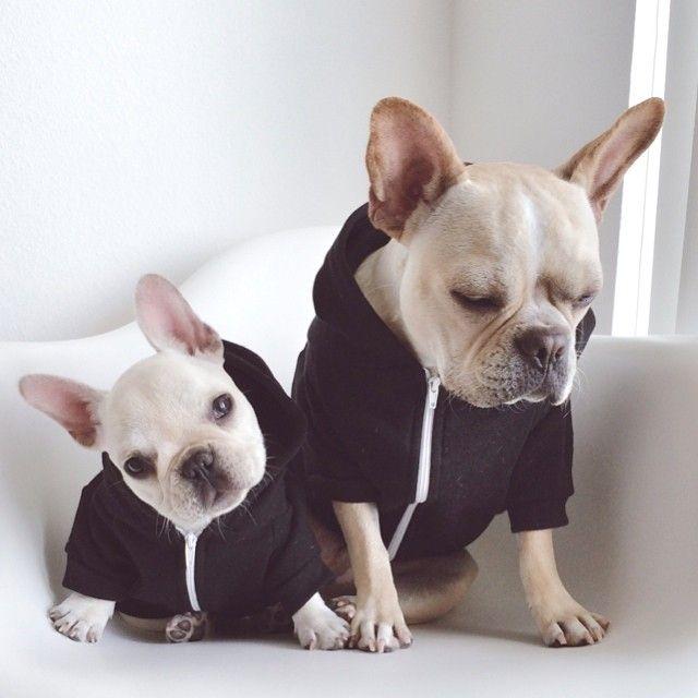 French Bulldogs enjoying the 'Hoody Life'.