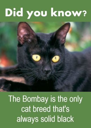 "The Bombay cat is sometimes called a miniature black panther. This shorthaired cat breed comes in just basic black. However, there are 22 cat breeds in the Cat Fanciers Association directory that list ""black"" as a color option."