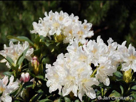 Cunningham's White . Kwiaty białe, pojawiające się bardzo wcześnie. -26
