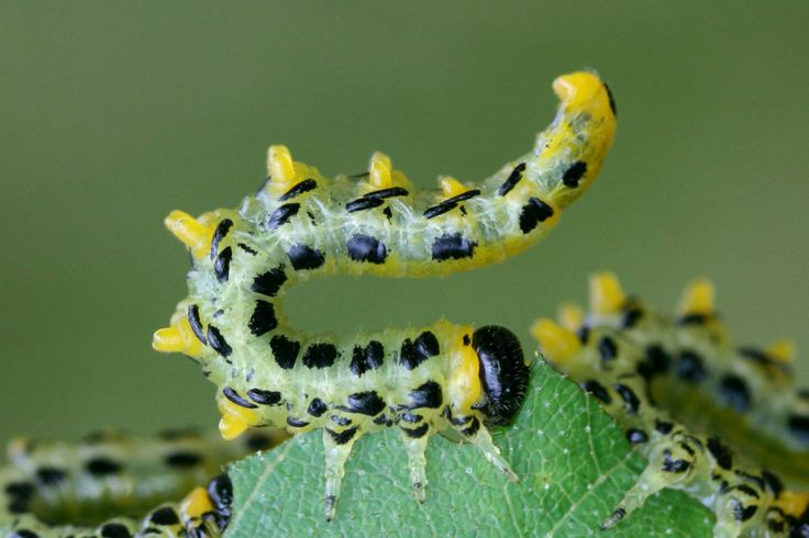 Sawfly caterpillar found at Newgate Bank in the North York Moors by Tammy Andrews (and featured in the Buglife 2014 calendar for October).