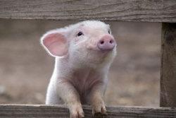 Petunia Piglet!: Piglets, Little Pigs, Sweet, Charlotte Web, Baby Pigs, Pens Pals, Teacups Pigs, Pet Pigs, Animal
