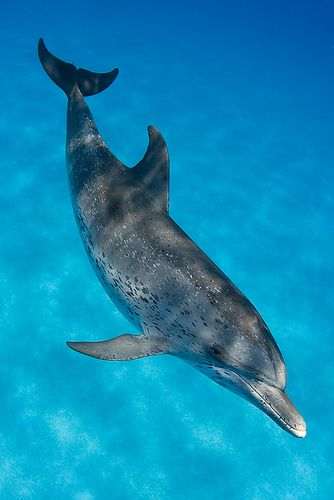 An Atlantic Spotted Dolphin (Stenella frontalis)